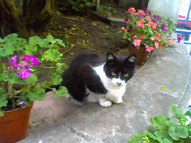 Un viejo gato azul plantas venenosas para el gato Plantas seguras para gatos