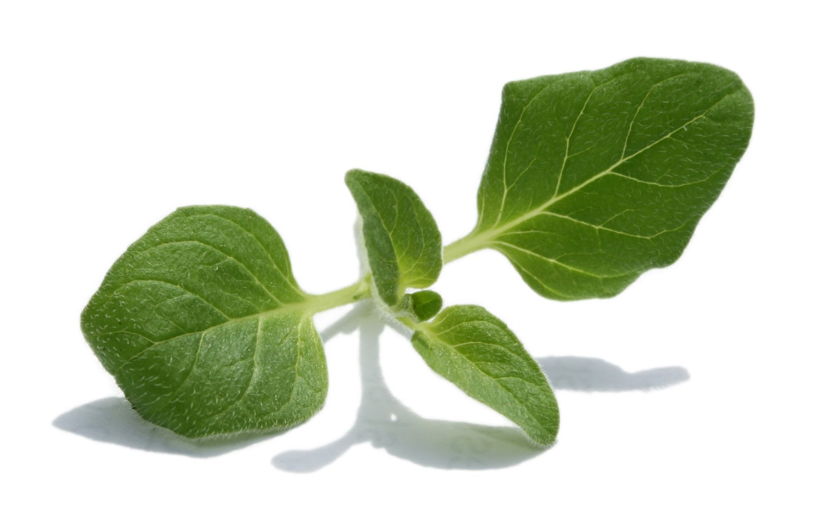The healing power of oregano: the benefits and harm