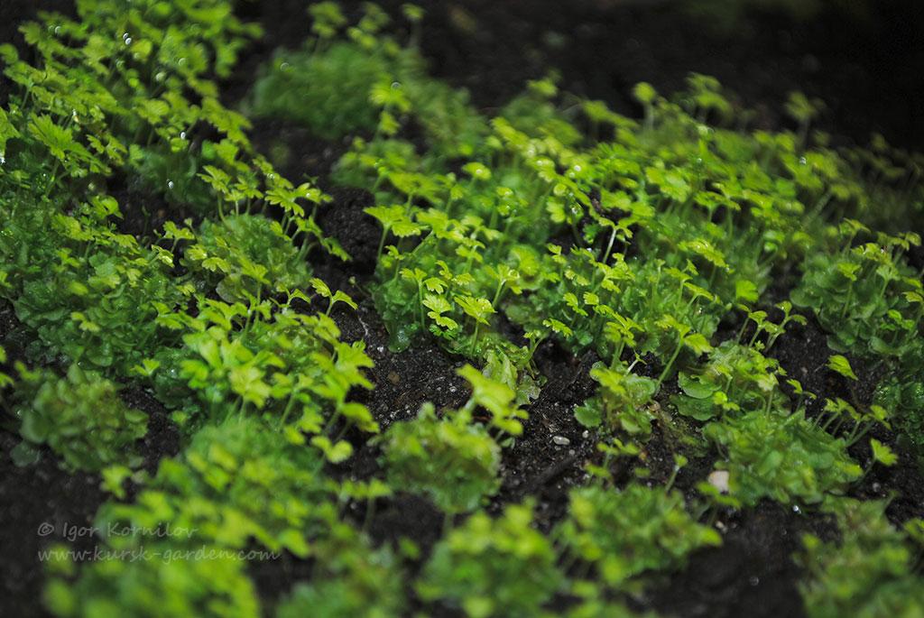 Сеянцы кочедыжника женского (Athyrium filix-femina (L.) Roth)