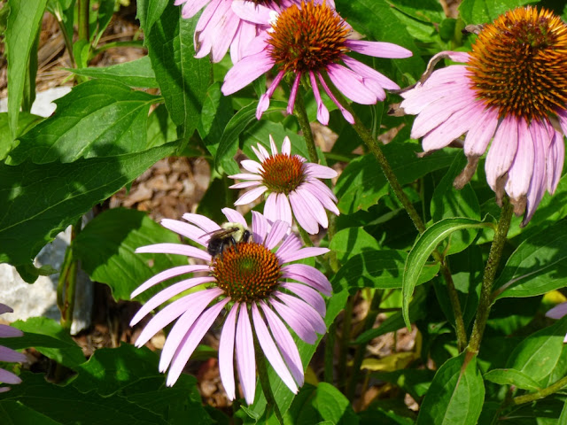 Echinacea purpurea, Eastern Purple Coneflower with Bee