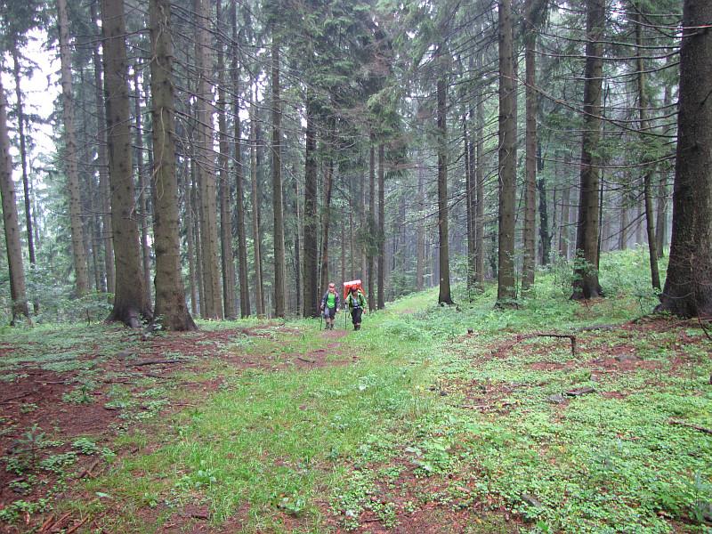 Przez świerkowy las.