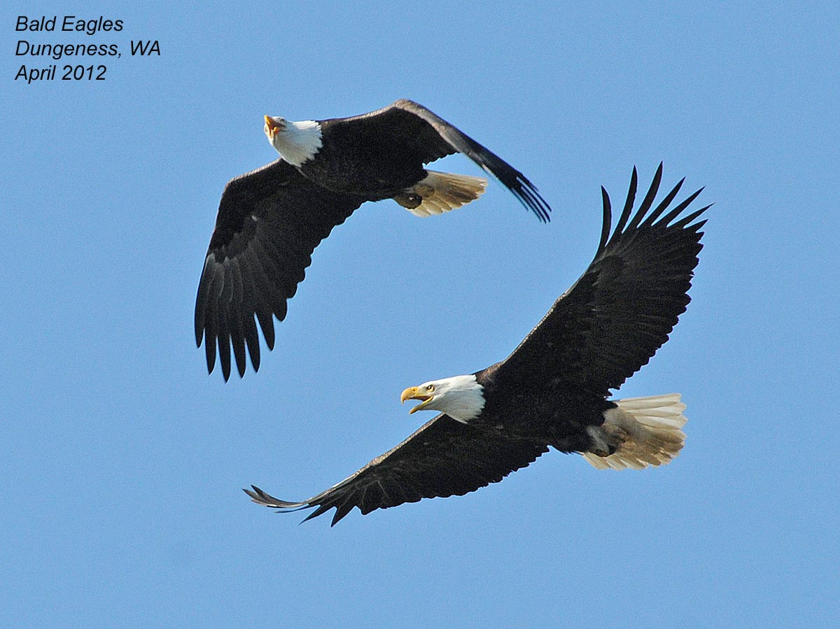 the bald eagle is the national symbol of the united states of america ...