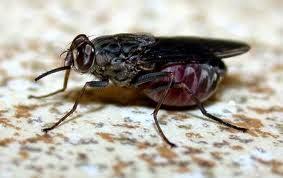 lalat afrika