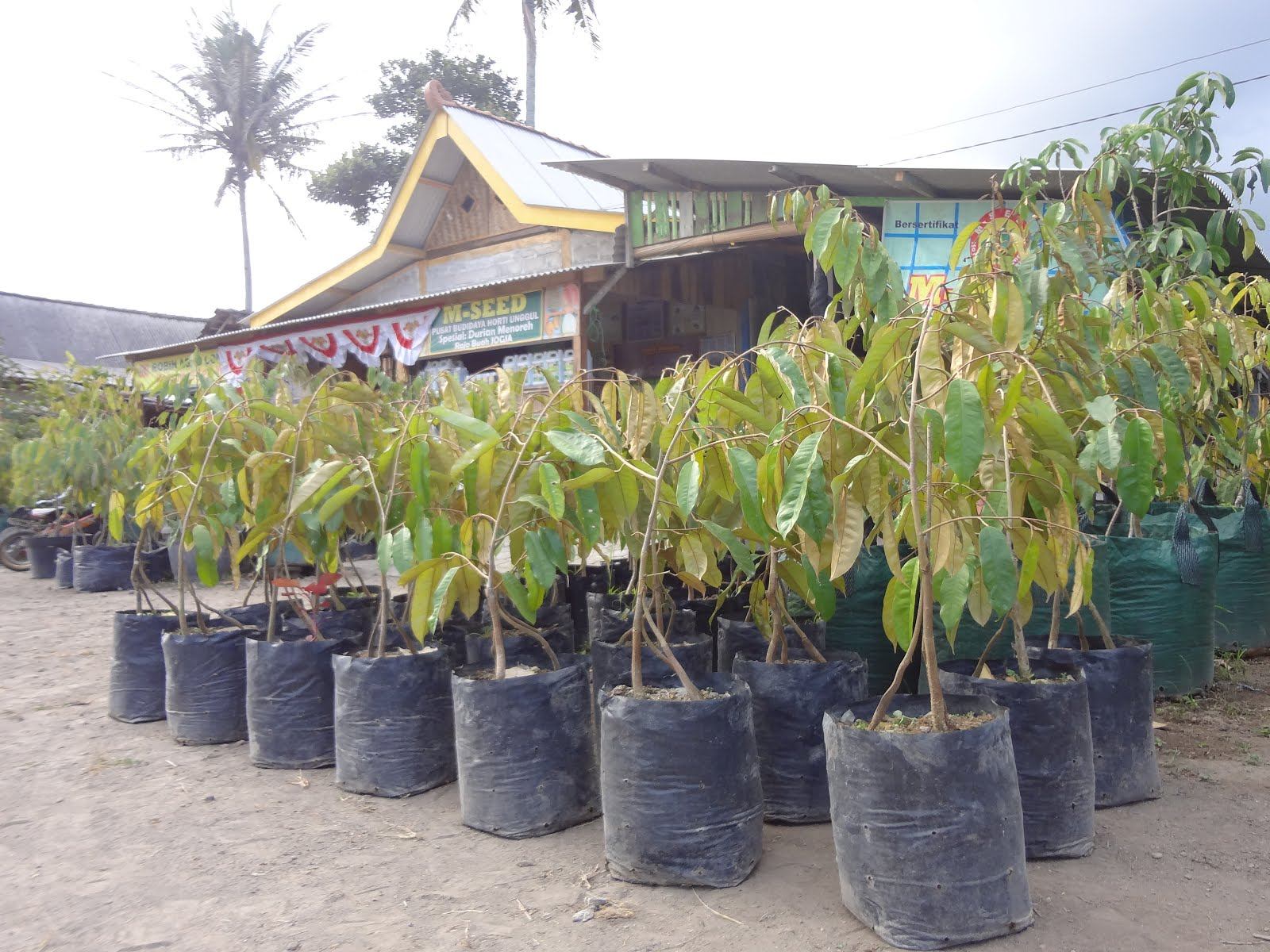 Foto Durian Menoreh Kuning Berkaki Tiga