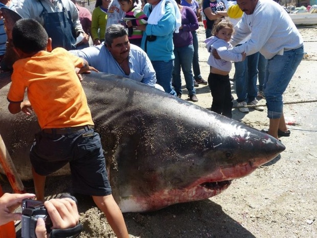 Deadly Kingdom Big Great White Shark Caught In Mexico