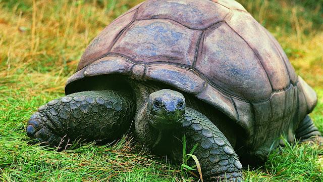 гиганская черепаха