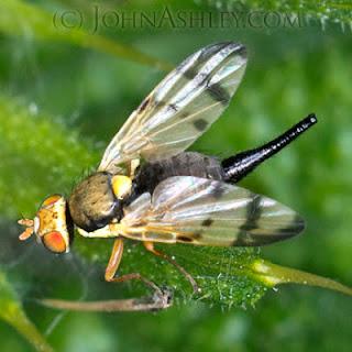 Female Bull Thistle Gall Fly (c) John Ashley