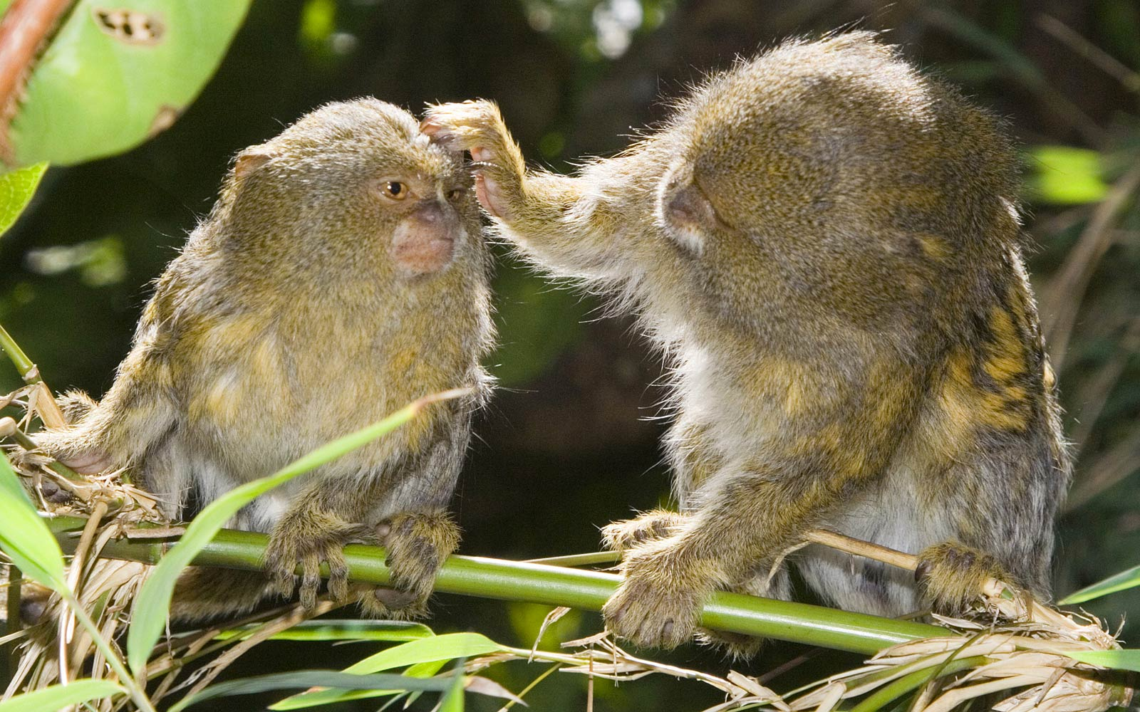Marmoset Monkey Wallpapers Pets Cute And Docile