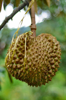 durian monthong warso farm