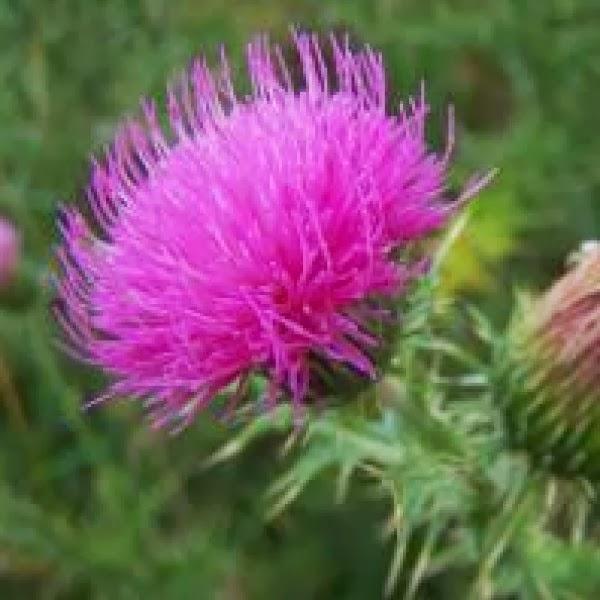 Dikeninin faydaları ve yan etkileri şifalı bitkiler doğal