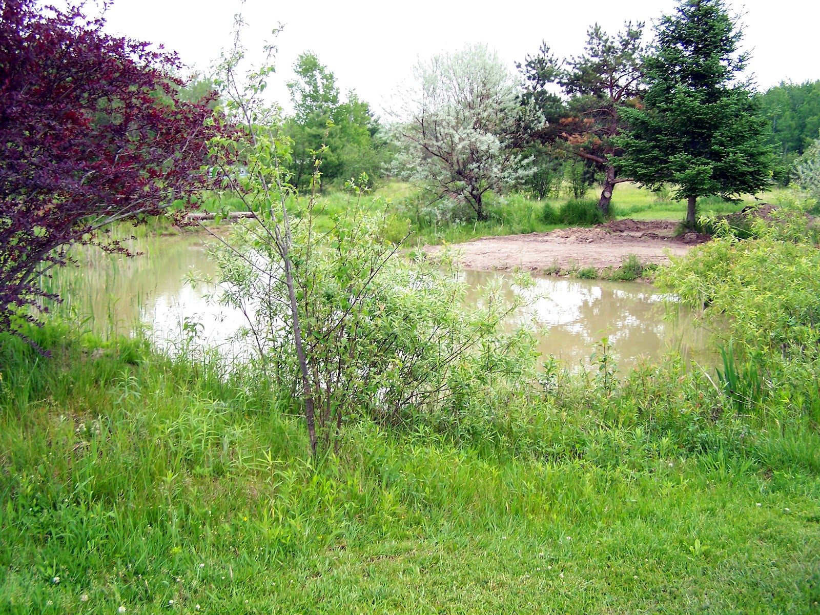 Landscaping Pond Banks : The pond bank will be dug nearer base of trees and shrubs here