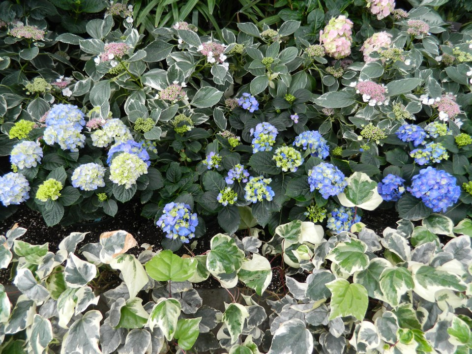 Allan Gardens Conservatory Easter Flower Show 2013 blue hydrangeas variegated ivy by garden muses: Toronto gardening blog