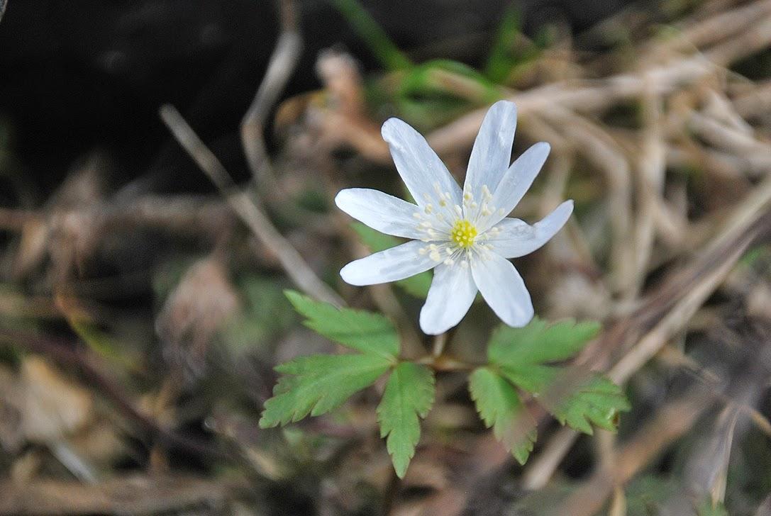 Весенние цветы - подснежники