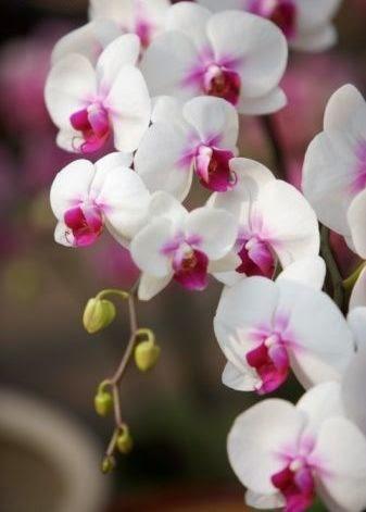 Molhar orquidea