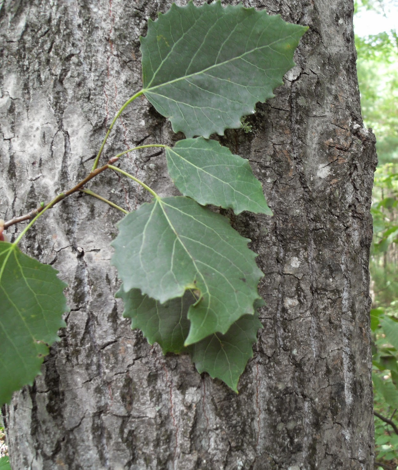 Benefits Of American Aspen (Populus Tremuloides) For Health