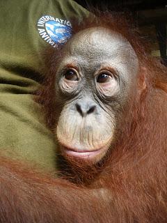 International Animal Rescue Orangutan Rescue Borneo