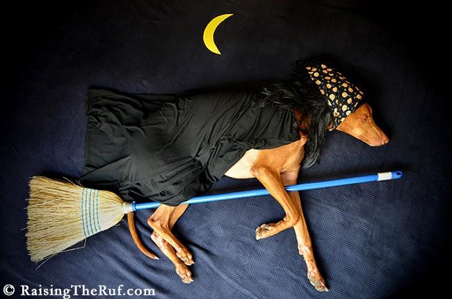 witch dog halloween costume