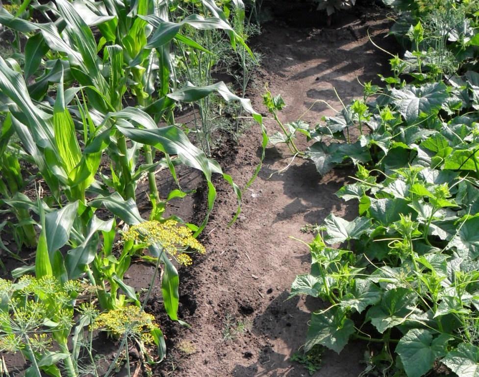 Огурцы тянутся к кукурузе и скоро сделают ее опорой