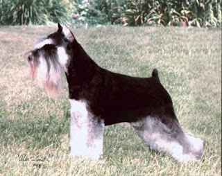Miniature Schnauzer black dog standing in the lawn wallpaper dog breed images and free download puppies photos