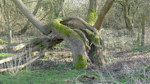 Twisted tree on the marsh