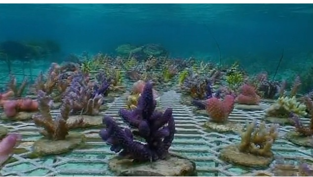Nevertheless Coral Gardening Ecological Remediation Of