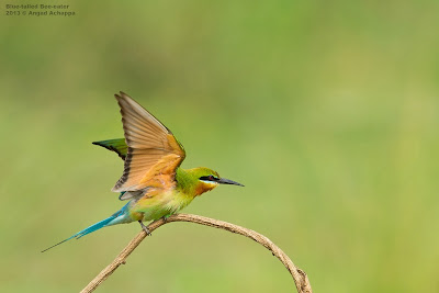blue tailed bee eater, action, birds in flight, BIF, indian birds, bird photography, wildlife photography