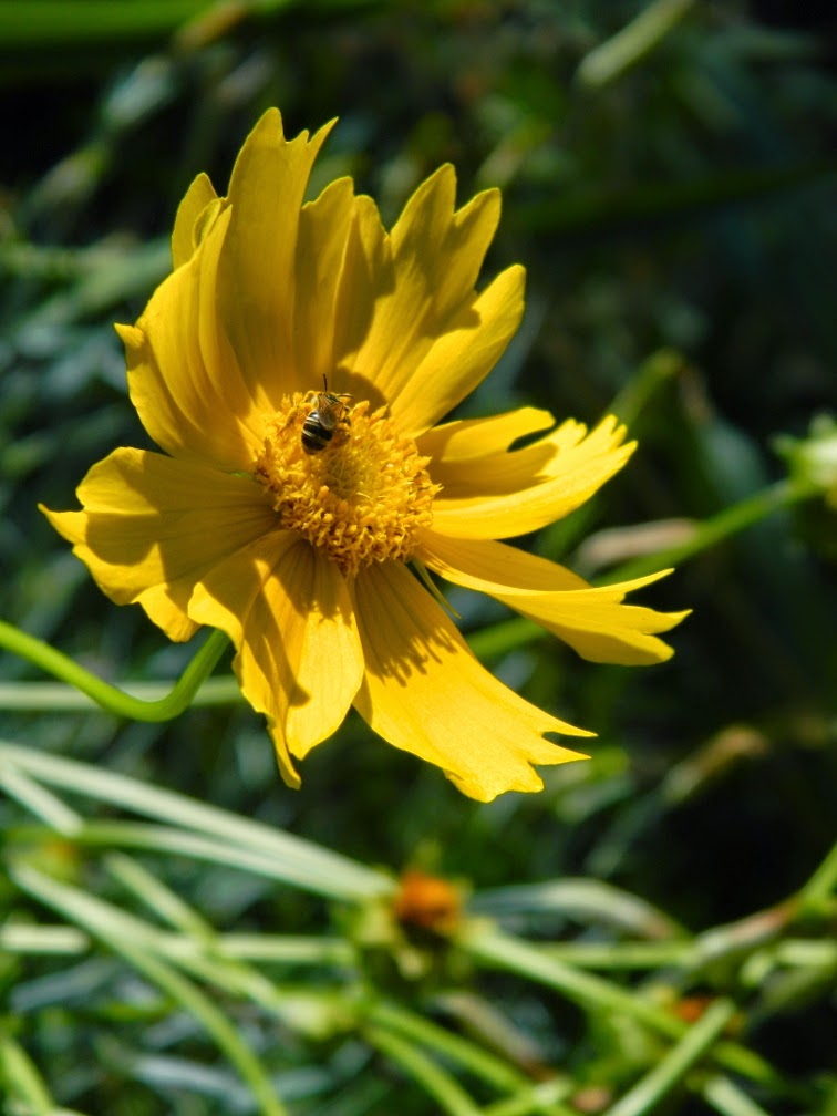 Lanceleaf coreopsis lanceolata by garden muses-not another Toronto gardening blog