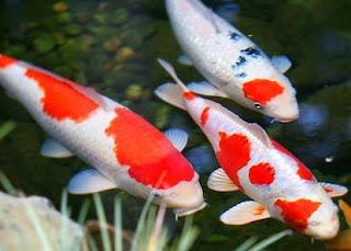 cara budidaya ikan hias di akuarium,di kolam terpal,di aquarium,di kolam tanah,koi pdf,ikan koi,hias di akuarium kecil,hias platy,