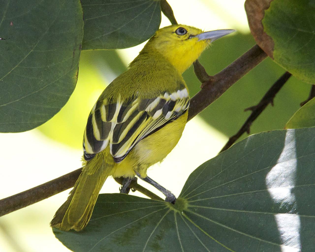 Burung Cipoh - Aegithina tiphia (Aegithinidae) 7
