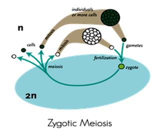 Zygotic Meiosis