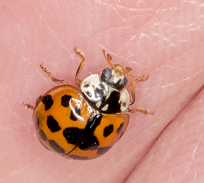 Harlequin ladybird, Harmonia axyridis forma succinea.  Kemsing Down with the Orpington Field Club on 12 April 2014.