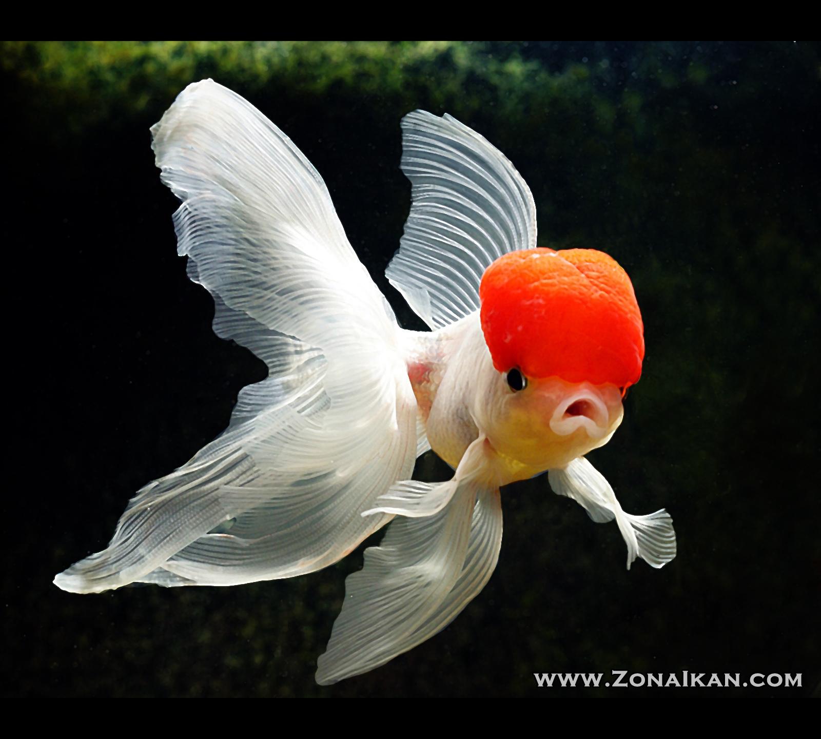 Red Cap Fish Oranda Goldfish Pictures