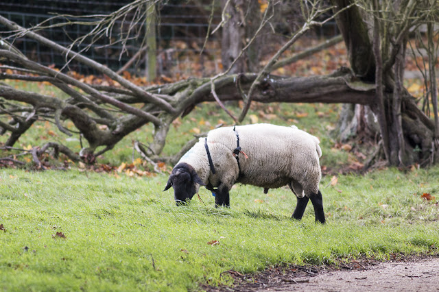 Sheep (ram) in mating attire!