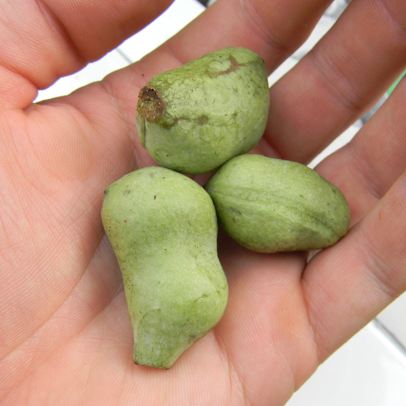 Can you eat paw paw fruit more information