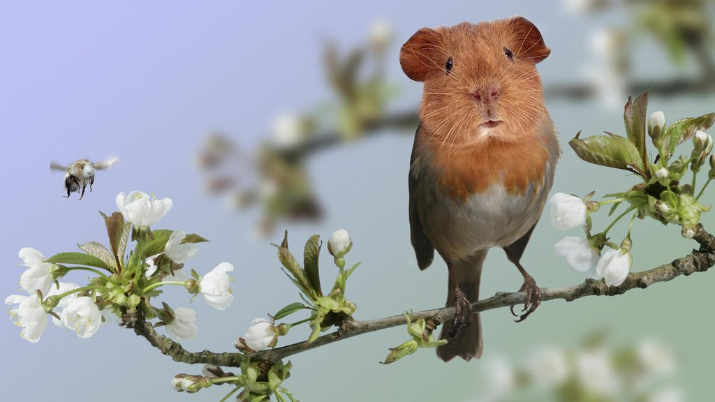 Guinea Pig Crossovers, strange animal pictures, animal crossovers