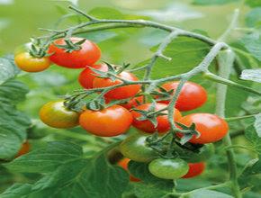 cara-menanam-tomat.jpg