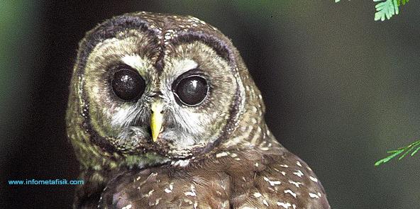 Mitos Menakutkan tentang Burung Hantu
