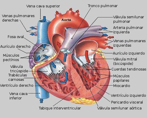 Anatomía del Corazon Humano. ~Hola~ Biología