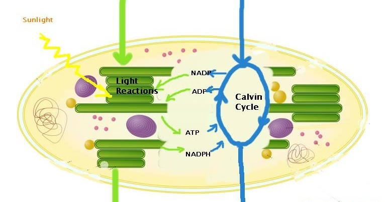 short essay answer photosynthesis You can download and preview ap biology test questions and answers in access excellence ap biology site - useful links and ap biology essay questions and.