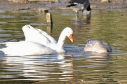 embden geese mating
