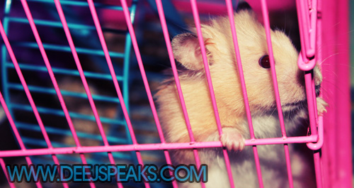 female teddy bear hamster