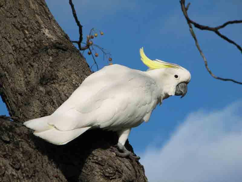 นกกระตั้วใหญ่หงอนเหลือง