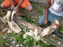 CUTTING PROCESS WILD AGARWOOD FROM OUR  ISLAND FOREST