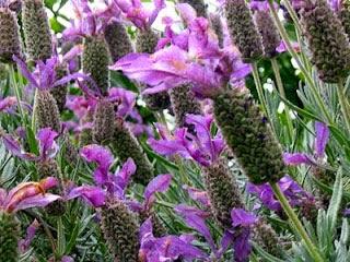 Tanaman-Tanaman Pengusir Nyamuk, Tanaman Pengusir Nyamuk Lavender,lavender flower, lavender flowers
