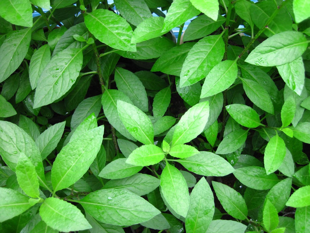 gynura plant benefits