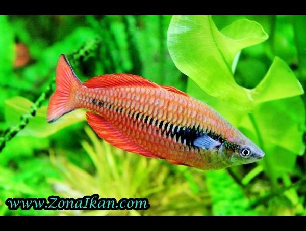 Http Www Zonaikan Com 2013 01 Jenis Jenis Ikan Hias Air Tawar Html