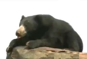 foto beruang sloth
