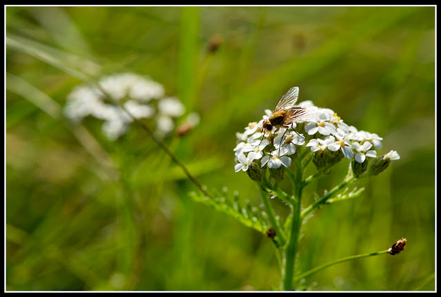 Nova Scotia, Gaff Point; Fly; Flower