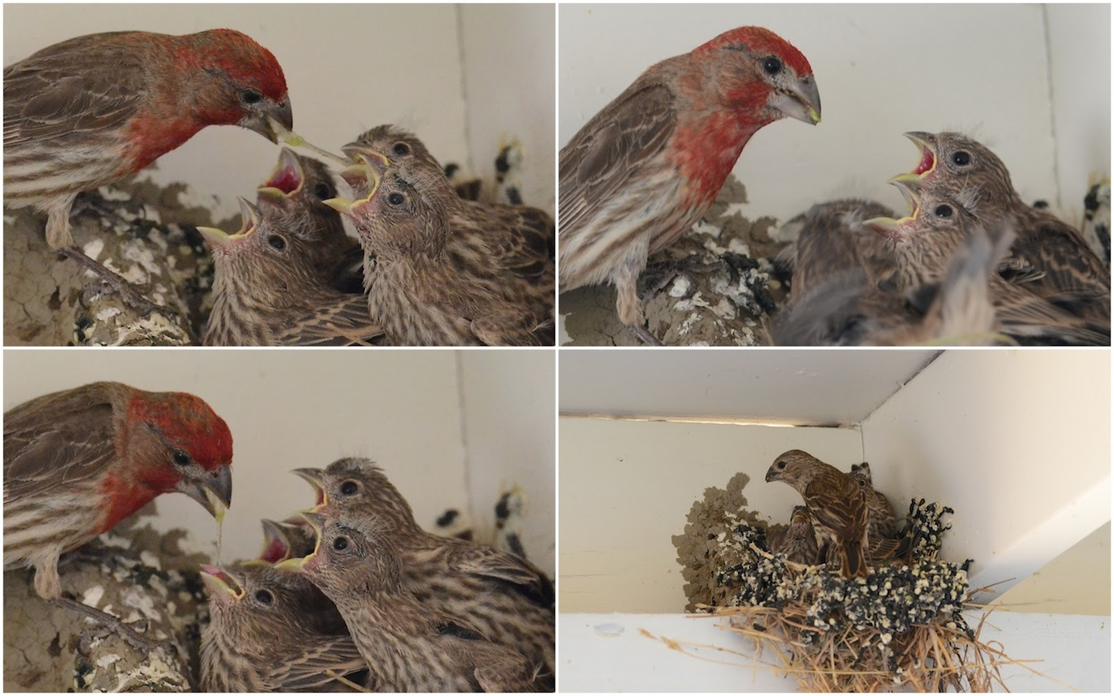 Baby Finch Bird