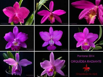 Orquídea radiante - Pantone 2014